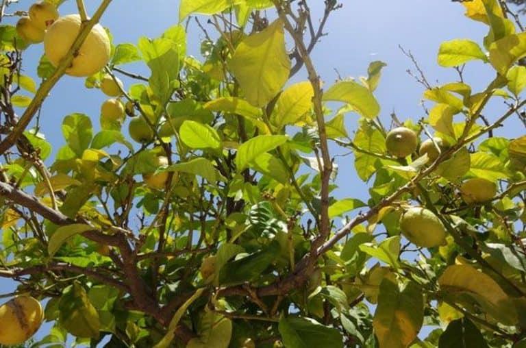 κλαδιά απο λεμονιά με φύλλα και λεμόνια
