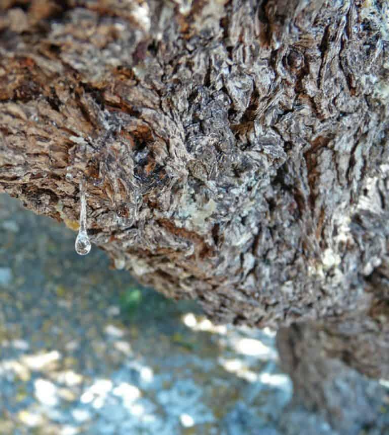 Λεπτομέρια απο κορμό δέντρου με σταγόνα μαστιχας