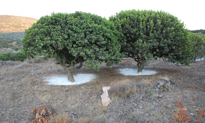 Δύο μαστιχόδεντρα στη φύση